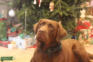 Beautiful Pedigree Chocolate Labrador Retriever Listing Image