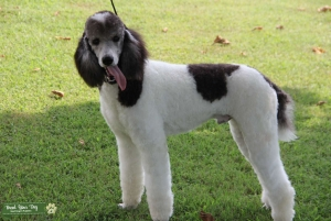 Grey and White Parti Standard Poodle Listing Image