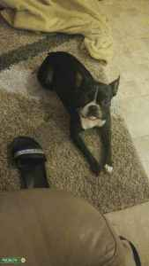 Looking for handsome Boston terrier Listing Image