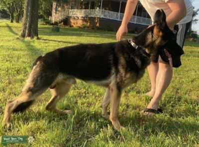 Black and Tan GSD male for stud Listing Image