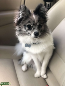 Handsome Pom for stud  Listing Image