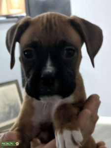 Female Boxer Ready to Breed NOW! Listing Image