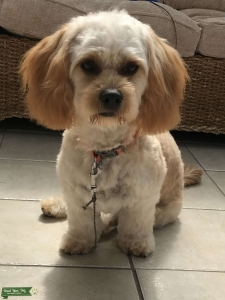 Cavachon Apricot Gold male for stud  Listing Image Thumbnail