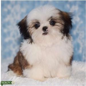 Full Bred White/Golden/Brown Shih Tzu Stud Sweetiepie Listing Image