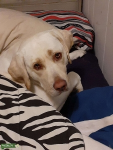 Angel.  White/Yellow Labrador  Listing Image