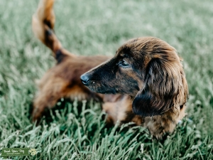 Brindle mini long hair Listing Image