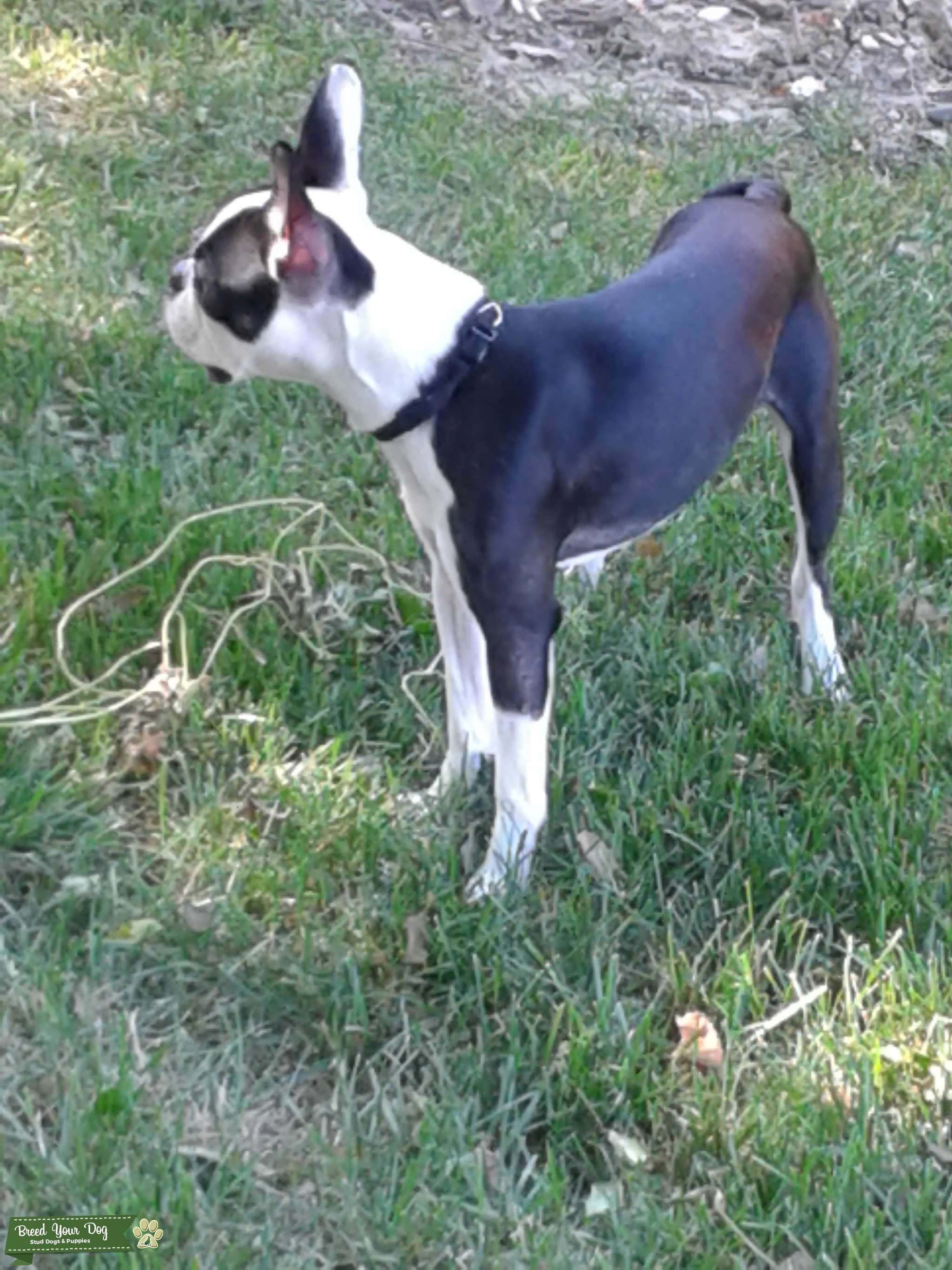 Male Boston Terrier for Stud  Listing Image Big
