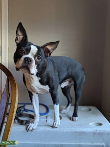 Boston Terrier Listing Image