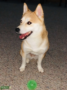 Kyna the Queen Shiba Listing Image