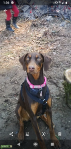 Red doberman Listing Image