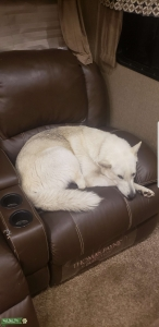 White Shepherd/Husky/Mal/Wolf mix tested 25% Listing Image