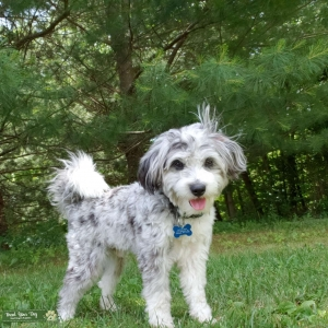 Mini Aussiedoodle looking to mate Listing Image