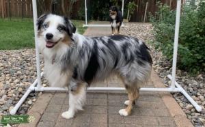 BLUE MERLE, BLUE EYED STUD DOG  Listing Image