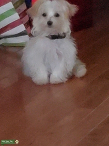 11 month old male blonde Morkie  Listing Image