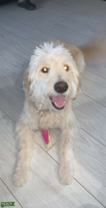 We Want To Breed Our Male Golden Doodle!! Listing Image