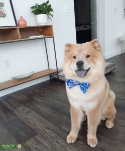 The sweetest, fluffy, light beige chow chow Listing Image