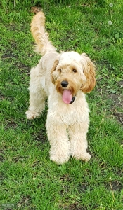 Miniature Golden Retriever Listing Image