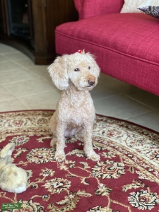 Labradoodle Listing Image