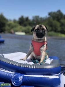 Fawn Pug Listing Image