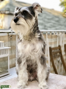 Looking for Female schnauzer  Listing Image