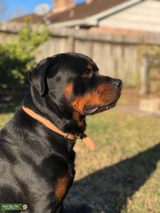 Rottweiler Stud  Listing Image