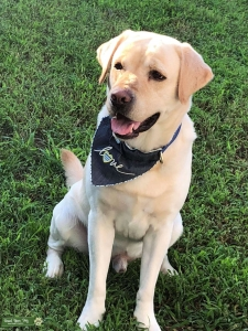 Beautiful Labrador looking for to breed  Listing Image