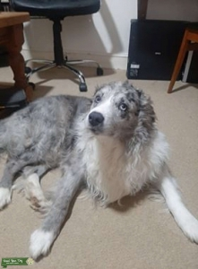 Collie (Blue Merle) Listing Image