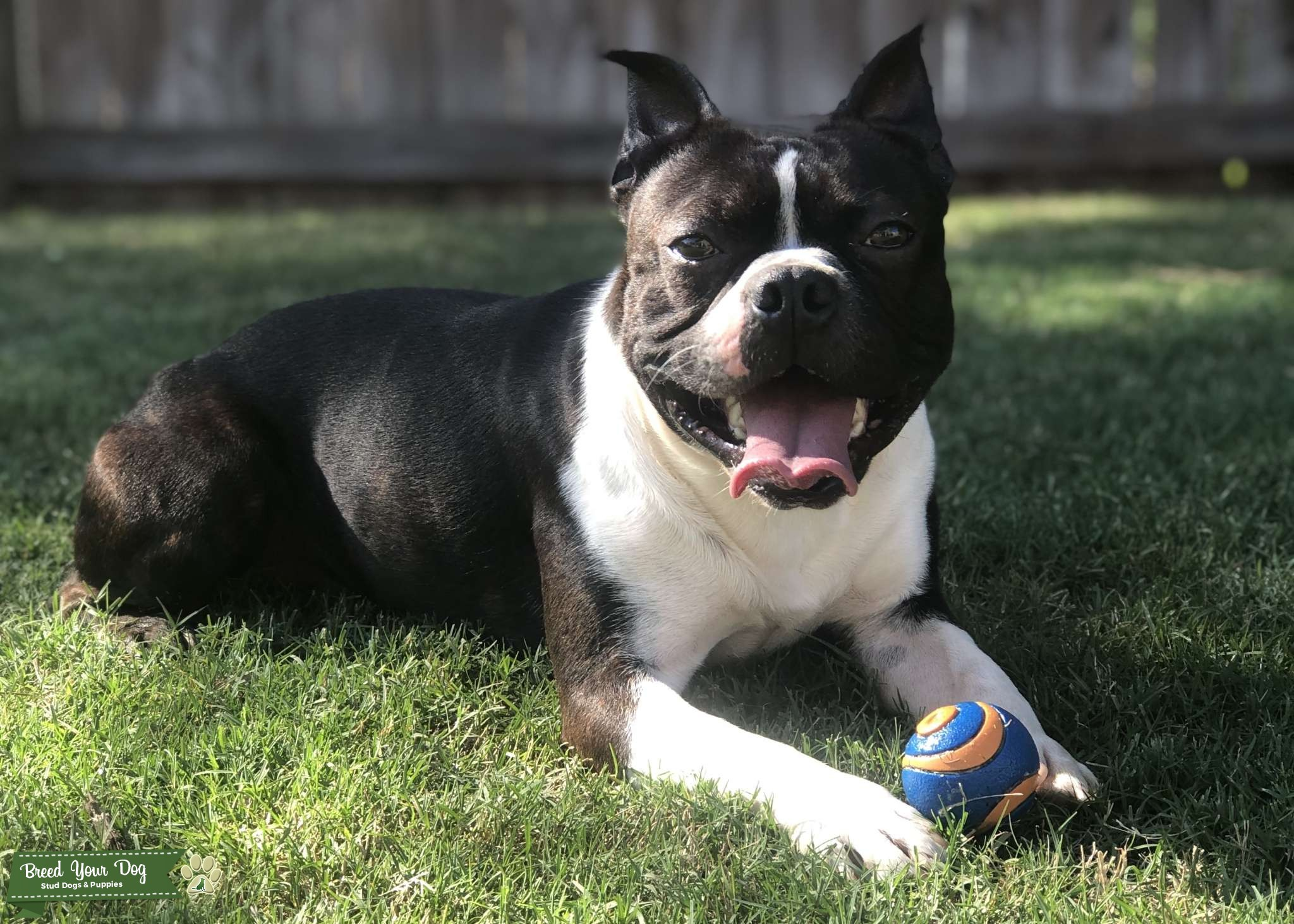 3 year old male  Boston Terrier Listing Image Big