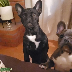 French Bulldog stud available (fluffy) Listing Image