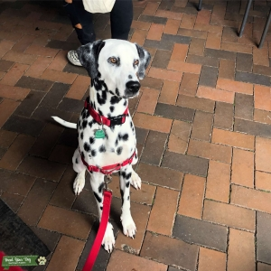 Black Spotted Male Dalmatian With Amber Eyes Listing Image