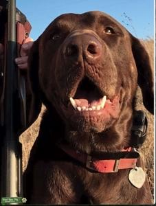 Chocolate Labrador Listing Image Thumbnail