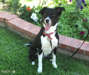 Australian Shepherd Border Collie Mix looking for Mate Listing Image