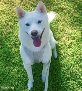 Beautiful And Instagram Famous White Shiba Husky Mix Seeks Full Breed Shiba Bitch Listing Image