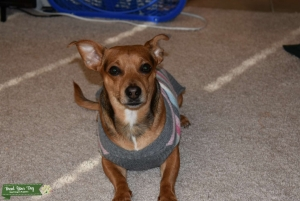 Mixed Chihuahua and Beagel.  Listing Image
