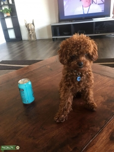 Red Toy Poodle Stud ~ 4lbs Listing Image