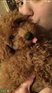 Toy red poodle looking for mate Listing Image