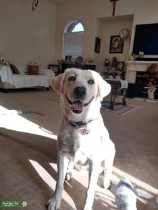 White/yellow labrador Listing Image