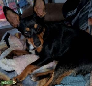 Chihuahua MinPin mix  Listing Image