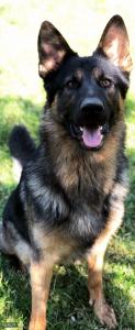 German Shepherd Stud $600 Listing Image
