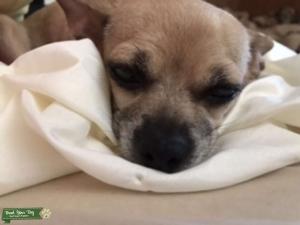 Chihuahua  Listing Image