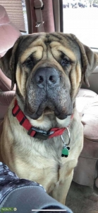 Old English Mastifff, weighing 190lbs. He's very good with children and other pets! Listing Image