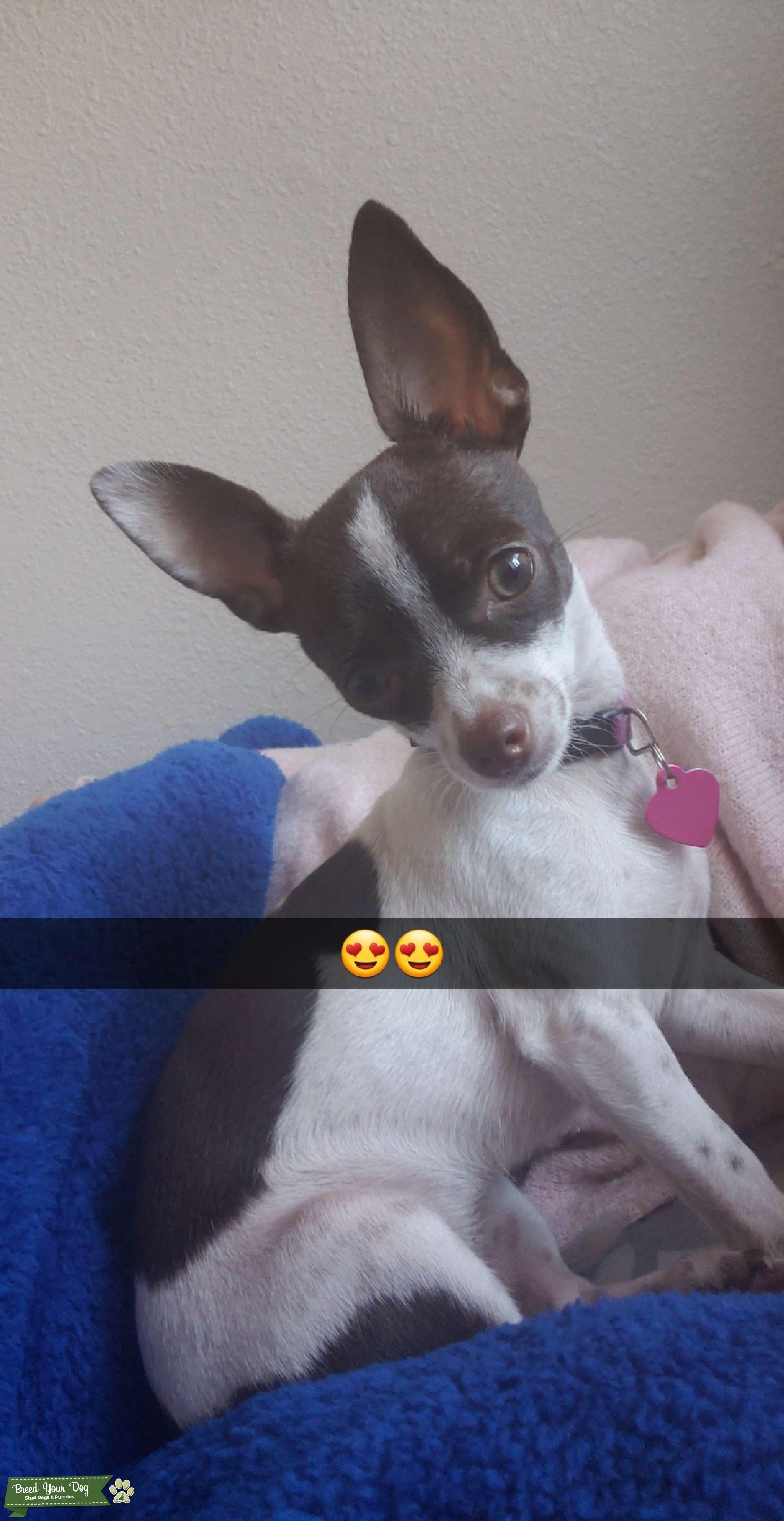 Purebred Applehead Chihuahua  Listing Image Big