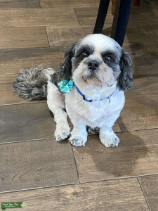 Grey and white Shih Tzu Listing Image