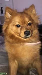 Ginger female  Pomerania Looking for stud  Listing Image