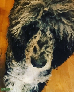 Royal Standard Poodle Merle Stud Listing Image