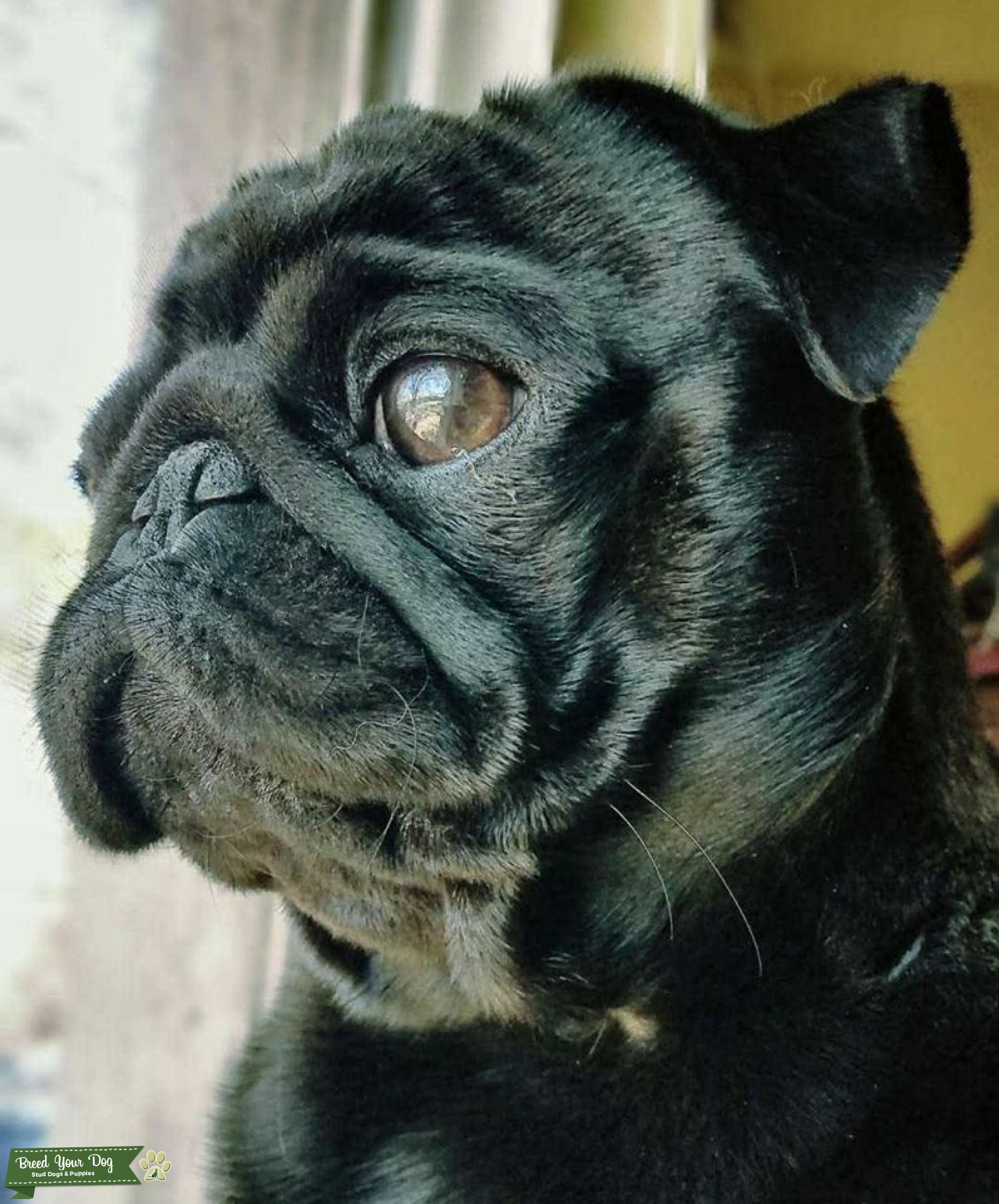 AKC Registered Stud Black Pug with thick, shiny fur Listing Image Big