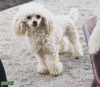 Toy poodle Listing Image