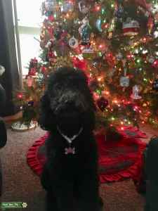 Small Standard Poodle Female-Therapy Dog! Listing Image