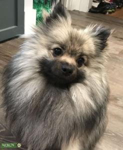 Sable cream Pomeranian  Listing Image