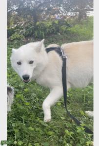 Pure White Mini Huskimo (American Eskimo - Miniature Husky Mix) Listing Image Thumbnail
